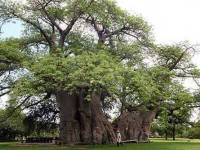 Bar in a Baobab tree in Limpopo, South Africa