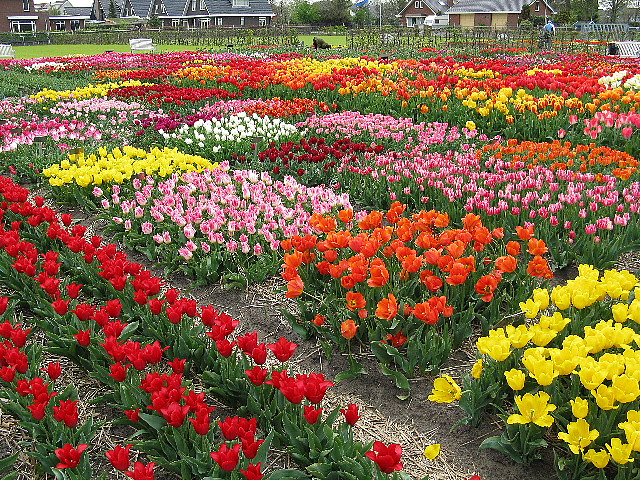 tulip season in the netherlands 5 great destinations the travel enthusiast the travel enthusiast. Black Bedroom Furniture Sets. Home Design Ideas