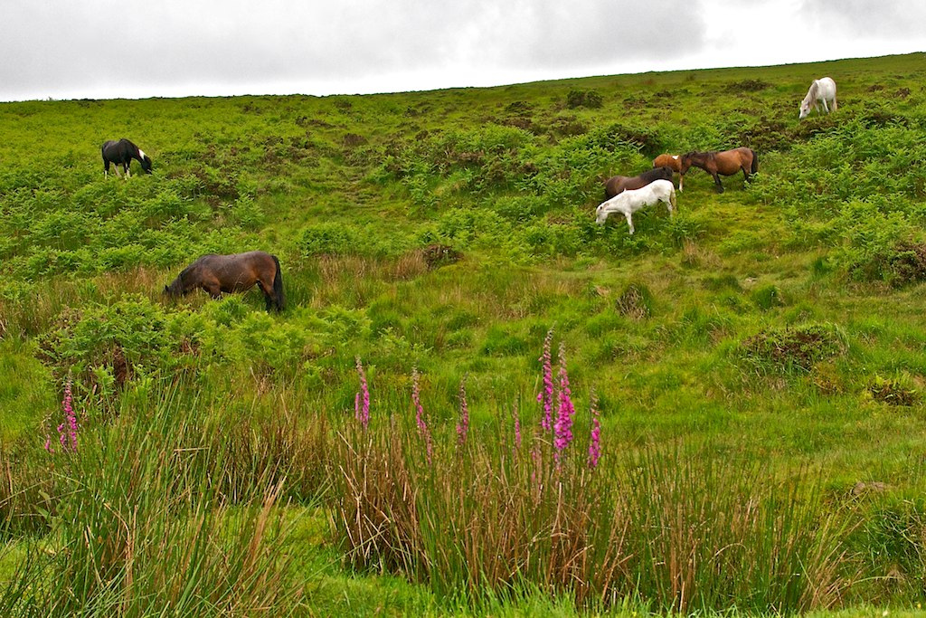 Dartmoor Ponies
