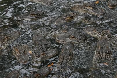 Just a few alligators at the St Augustin Alligator Farm