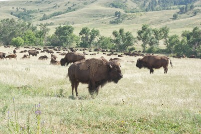 Buffalo in the Custer State Park