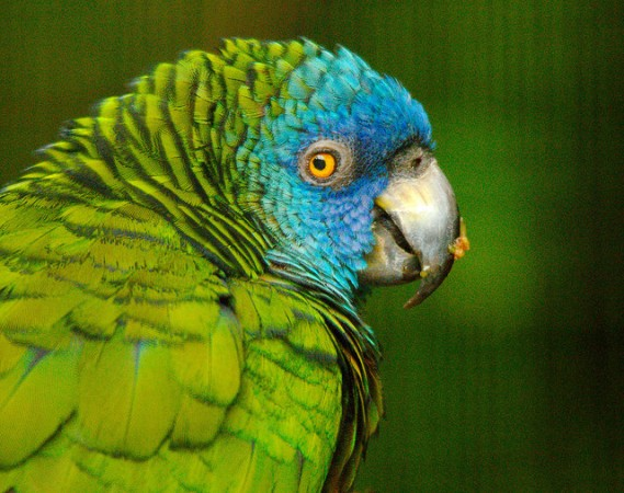 The Saint Lucia parrot, a native specie of the island ©Josh More/flickr