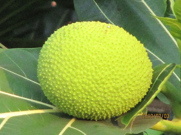 "Breadfruit, a very unique yet popular fruit on the island, The island gained the nickname ""Breadfruit Isle"" because of this fruit ©Leonora Enking/flickr"