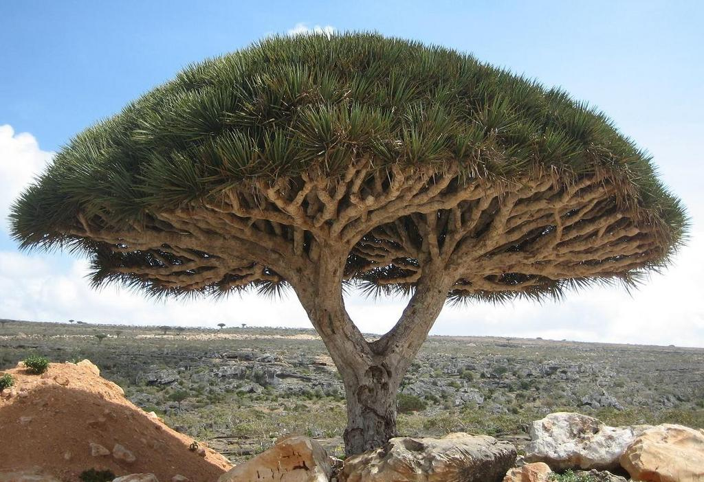 http://www.travelgrove.com/blog/wp-content/uploads/Socotra_dragon_tree.jpg